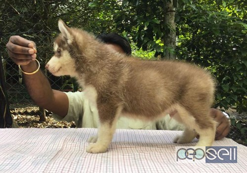 Super Quality Siberian Husky Puppies For Sale Thrissur Free