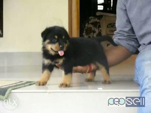 Rottweiler Dog Price In Chennai