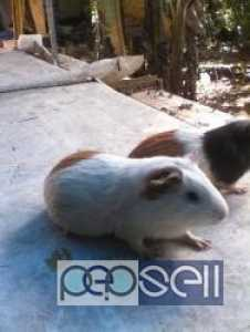 1 month old guinea pig for sale at Pathanamthitta