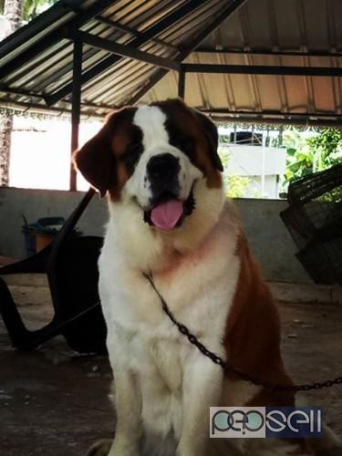 Saint Bernard Puppys Available