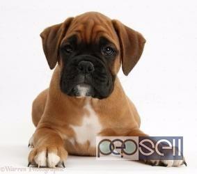 Pure Bred Boxer Puppies Goldenacresdogs Com