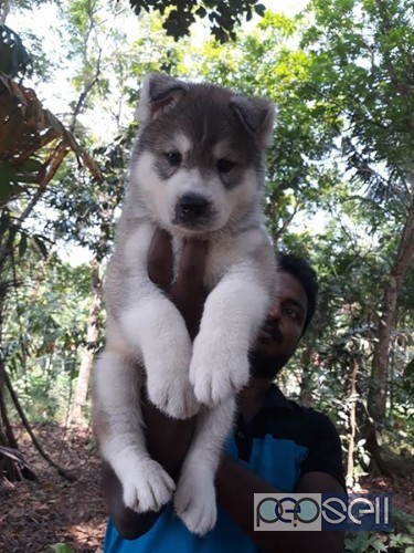 Siberian Husky For Sale At Kochi Kochi Free Classifieds