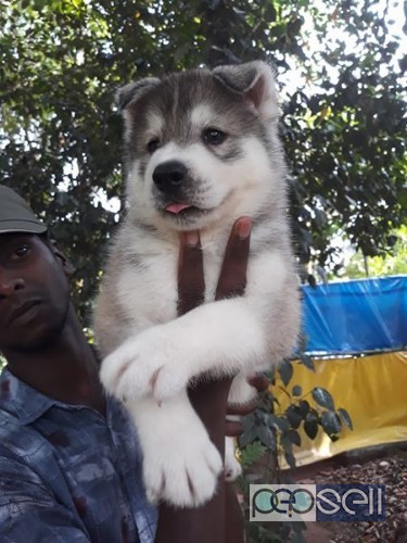 Siberian Husky For Sale At Kochi Kochi Free Classifieds