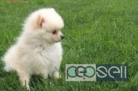 Toy Pomeranian For Sale At Delhi Delhi Free Classifieds