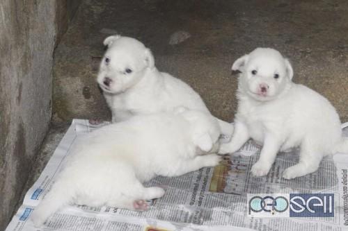 Min Pomeranian Puppies For Sale At Thiruvananthapuram