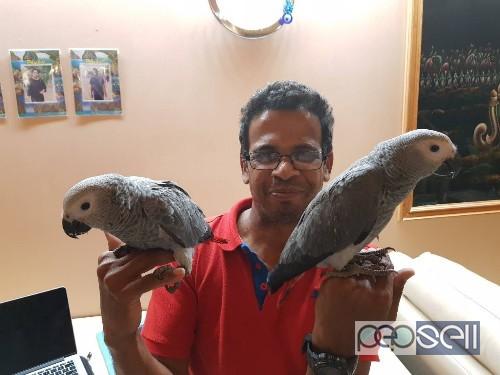 Baby African Grey Parrot Price In Mumbai - African Grey Parrot