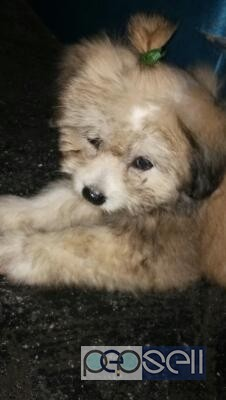 Lhasa Apso Puppy For Sale At Kochi Kochi Free Classifieds