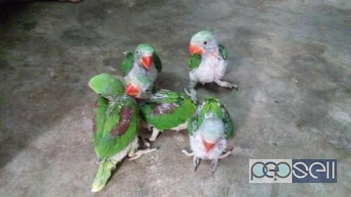 Talking Parrot For Sale In Kochi Kochi Free Classifieds