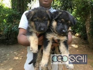 German Shepherd Pupies For Sale In Pathanamthitta Pathanamthitta Free Classifieds