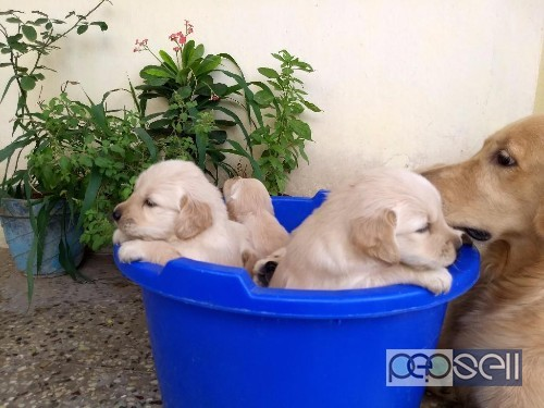Golden retriever puppies for sale in Coimbatore