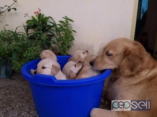 Golden retriever puppies for sale in Coimbatore