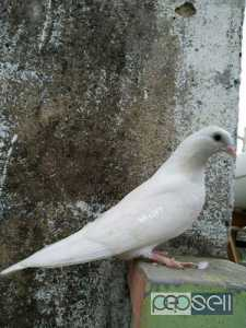 Tara High flying male n female Pattas for sale only interested people can call