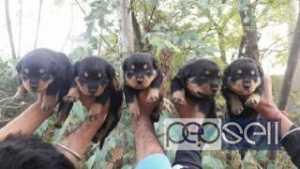 Good title health Rottweiler pupp sale at Delhi