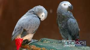 macaw parrots, cockatoos, Grey parrots, Amazons, Ostriches,Falcons,Ostriches,