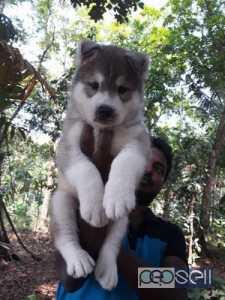 Siberian Husky for sale at Kochi