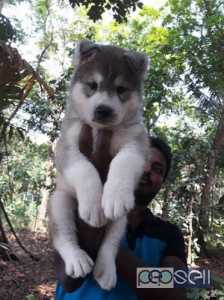 Siberian husky for sale super quality male pup