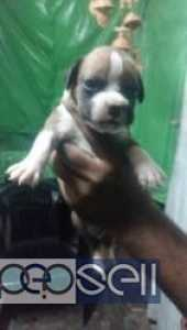 BOXER PUPPIES FOR SALE AT Delhi JIMMY PUPPY KENNEL