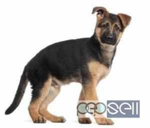 german shepherd puppy for sale in delhi at subbu kennel
