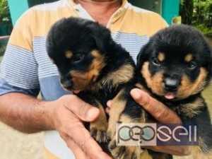 Rottweiler for sale at Thiruvananthapuram