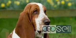 KCI certified basset hound for sale at Thiruvananthapuram