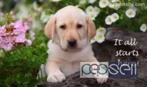 Labrador Retriver for sale at Kochi