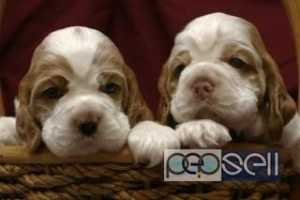 Champion lineage English cocker spaniel for sale at Aleppy
