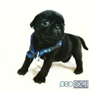 Champion lineage pug male puppies for sale at Kochi