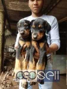 Doberman puppies 45 days old for sale