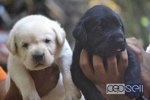 Labrador Puppies For Sale Near Lulu Mall Kochi Kochi Free Classifieds