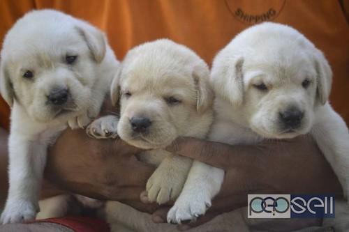 Labrador puppies for sale near Lulu Mall, Kochi