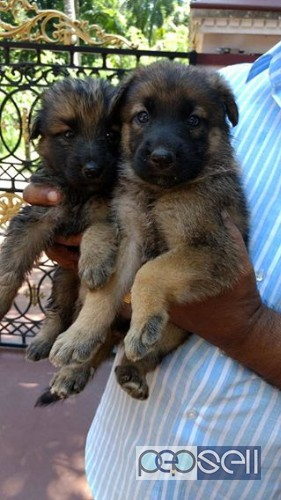 Gsd Puppies For Sale Thrissur Free Classifieds