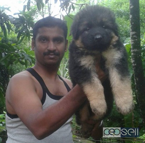 Gsd Puppies For Sale Palakkad Free Classifieds