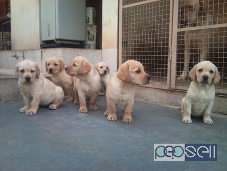 Pure breed puppies for sale in Delhi 1