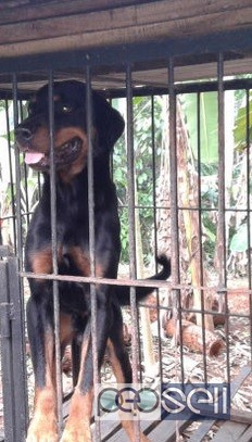 One year old Rottweiler dog for sale in Ernakulam 0