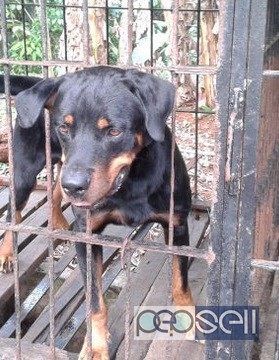 One year old Rottweiler dog for sale in Ernakulam 1