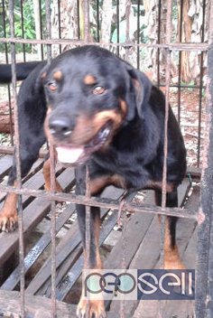 One year old Rottweiler dog for sale in Ernakulam