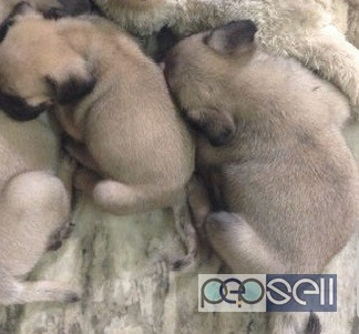 cute pug puppies for sale in Trivandrum