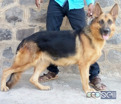 Gsd Adult Female For Sale Kolhapur Free Classifieds
