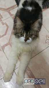 Persian cat Bi color for sale