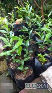 ഊദ് തൈകൾ Agar plants for sale at Payyannur Kannur