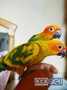 Sun conure hand trained good colouring pair for sale at Bangalore