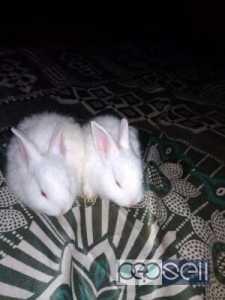 Rabbits for sale in Nagarabhavi, near Ullal Bangalore