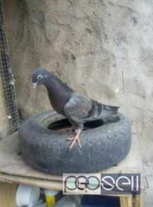 Hara old breed 1 kali pattha for sale