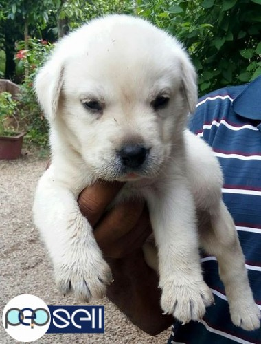 Labrador puppies for sale at Mala