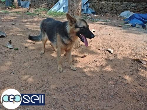 German Shepherd Female For Sale Piravam Free Classifieds