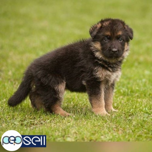 German Shepherd Puppies For Sale Pattambi Free Classifieds
