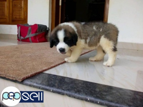 St Bernard Dog Puppy Price