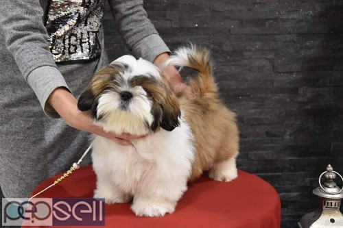 Show Quality Shih Tzu Puppies Available In Bangalore Both Male