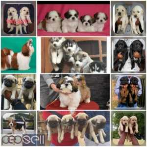 Top quality all breeded puppies available in Bangalore both male and female