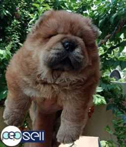 Chow chow puppy pure breed